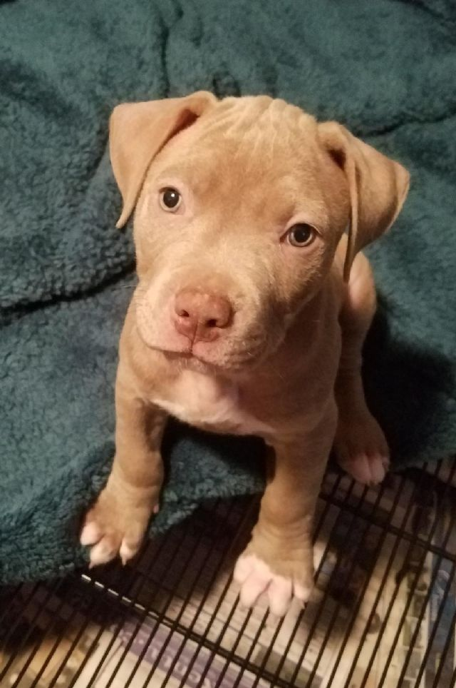 Ukcadba Pitbull Puppies San Bernardino California Pets For Sale
