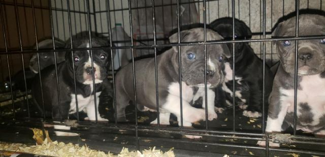 American Bully Puppies/6 weeks old