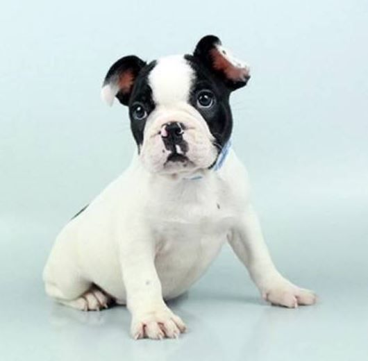 French Bulldog  now ready