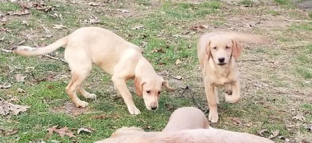 Labrador golden labrador retriever puppies ny