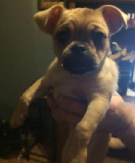 Pug - for sale