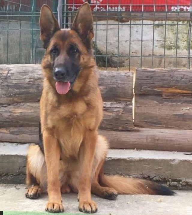 German Shepherd Puppies >>