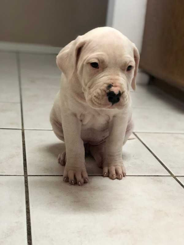 dogo argentino puppies - For Sale
