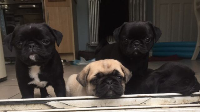Absolute Males And Females Pug Puppies For Sal Lakeland Florida Pets