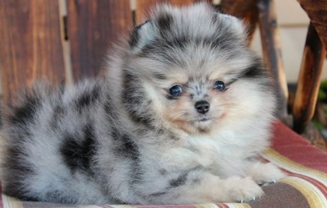 Affectionate Teacup Pom puppies