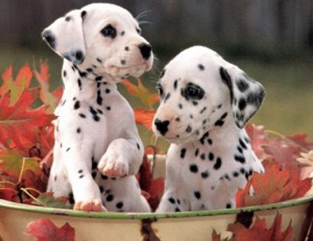 Brown Spotted Female Dalmatian Puppies Auburn Alabama Pets For Sale