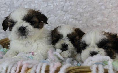 Male And Female Shih Tzu Puppies For Sale Modesto California Pets