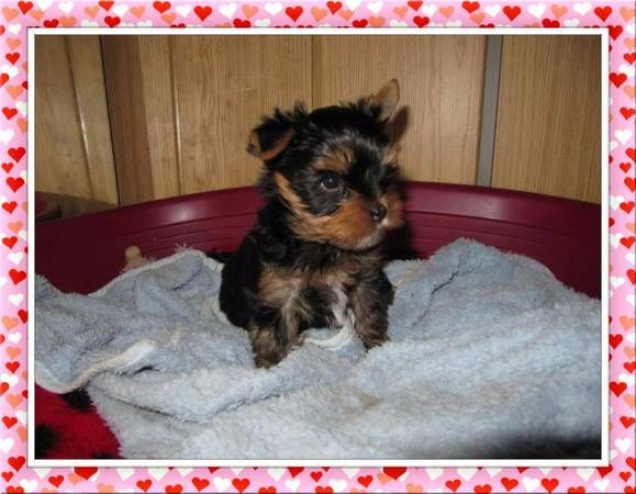 Angelic Teacup Yorkie Puppies Ventura County California Pets For