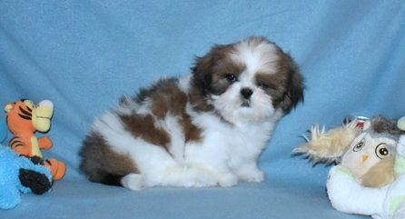 Kghbhgyt Stunning Shih Tzu Puppies Brainerd Minnesota Pets For Sale