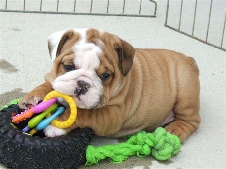 Male female English Bulldog Puppies available