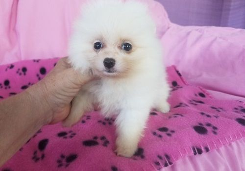 Akc Pomeranian Puppies Palm Springs California Pets For Sale