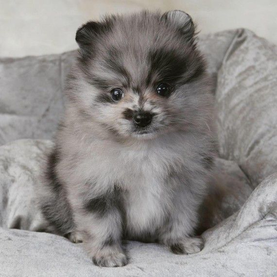 Home Raised Pom Puppies for sale