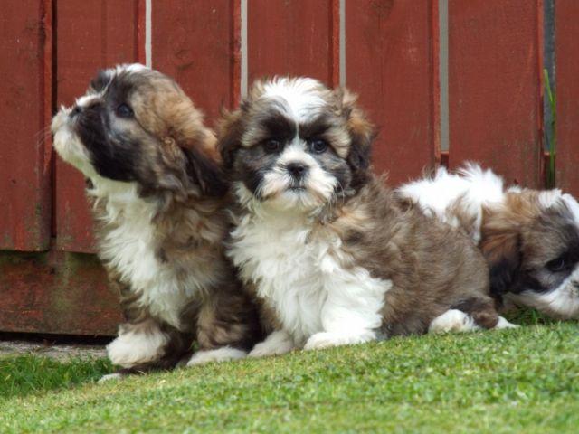 Beautiful Shih Tzu X Bichon Frise Pups For Sale Mcallen Texas Pets