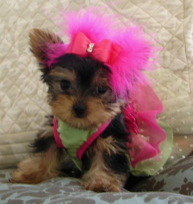2 Yorkie Puppies For Sale Rapid City South Dakota Pets For Sale