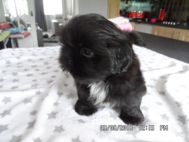 V At Shih Tzu Puppies To A Good Home Fresno California Pets For Sale