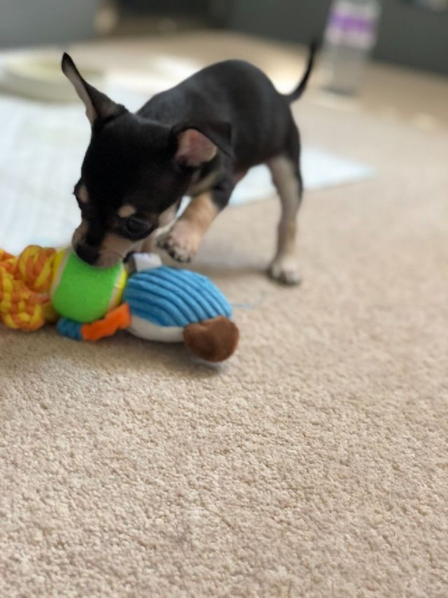 Chihuahua Puppies For Free Adoption Hamden Connecticut Pets For Sale