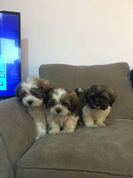 Ykna42 Adorable Shih Tzu Puppies For Adoption Buffalo New York Pets