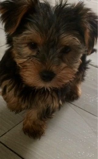 4747 Beautiful Yorkie Puppies For Sell Fayetteville Arkansas Pets