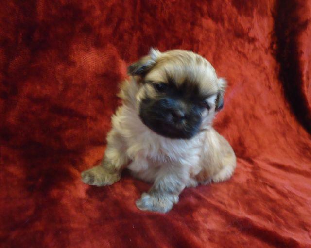 Adorable Akc Shih Tzu Puppies Wichita Kansas Pets For Sale