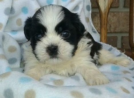 Beautiful Shih Tzu Pups Ready Wichita Kansas Pets For Sale