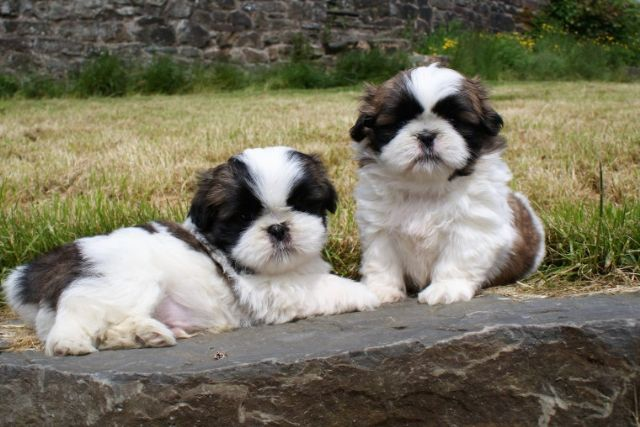 Registered Shih Tzu Puppies Medford Oregon Pets For Sale Classified