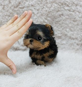 Call Sms Me At541 363 7475 Yorkie Puppies 300 Medford Oregon
