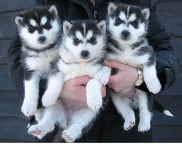 Home Trained Siberian Husky Puppies Available Douglaselbert County