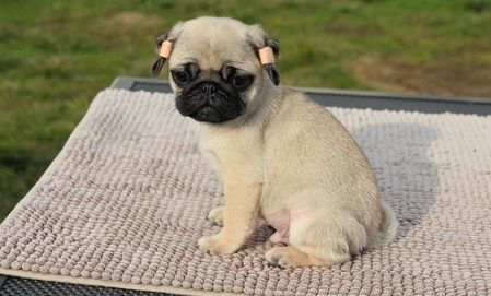 Gentle Males And Females Pug Puppies For Sale Birmingham Alabama