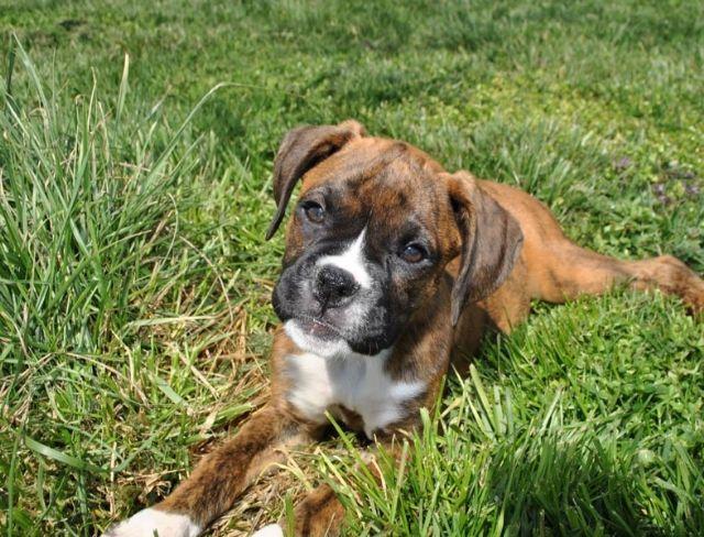 Beautiful Female Boxer Pups Iowa City Iowa Pets For Sale Classified