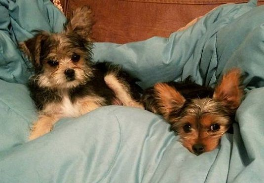 Healthy And Lovely Male And Female Yorkie Puppies Chicago Illinois