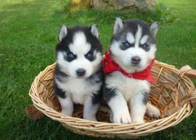 Huskies For Sale Text Us 410 505 8235 Denver Colorado Pets For