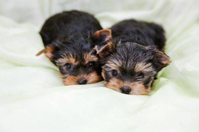 Well Trained Teacup Yorkie Puppies Charlotte North Carolina Pets For