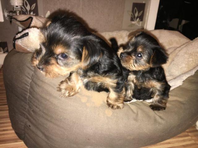 Stunning Akc Teacup Yorkie Puppies Dayton Ohio Pets For Sale