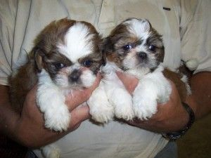 Shih Tzu Puppies For Sale203 694 0908 Dayton Ohio Pets For Sale