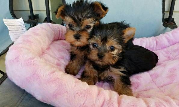 Heathy Yorkie Puppies Available Chicago Illinois Pets For Sale