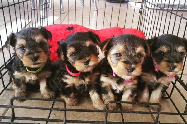 Gorgeous Teacup Yorkie Puppies Available For Adopt Montgomery
