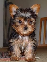 Yorkshire Terrier Puppies For Adoption Montgomery Alabama Pets For