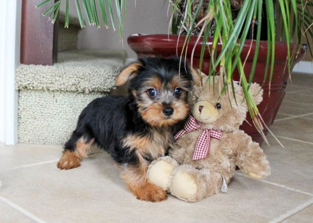 Yorkies Maltese And Pom Puppies For Sale 23 Montgomery Alabama Pets