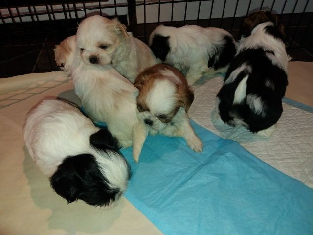 2 Gorgeous Shih Tzu Puppies For Sale Minneapolis Minnesota Pets For