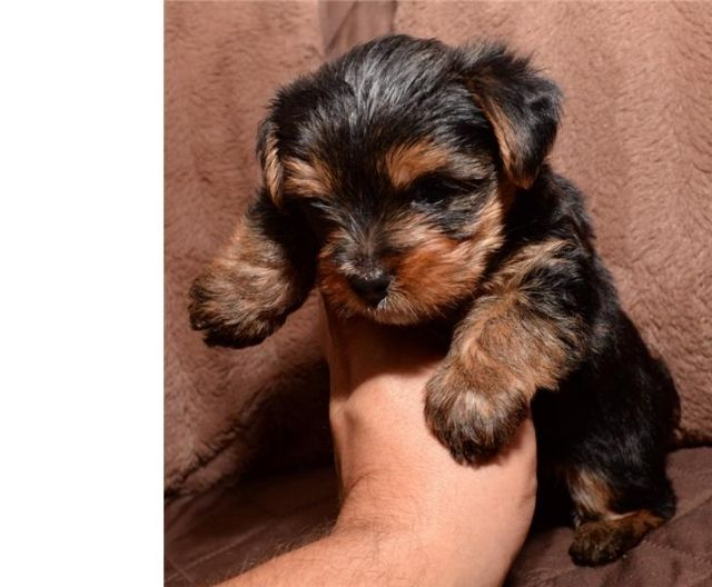 Nice Puppies Charlotte North Carolina Pets For Sale Classified Ads