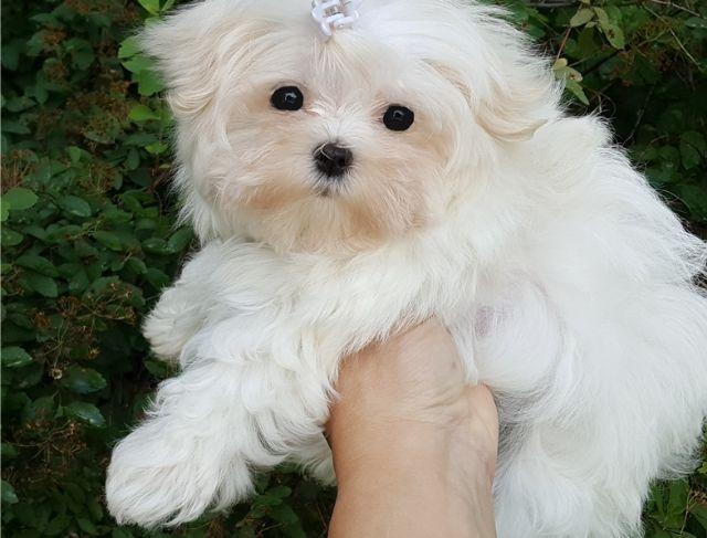 Beautiful Kc Reg Maltese Puppies Amarillo Texas Pets For Sale