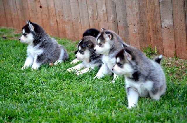 Lovely Pomsky Puppies Ready Now 50 Off Boise Idaho Pets For Sale