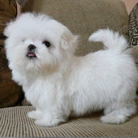 Maltese Puppies Cheap Maltese Waterloo Iowa Pets For Sale