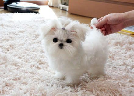Maltese Puppies Cheap Maltese Waterloo Iowa Pets For Sale