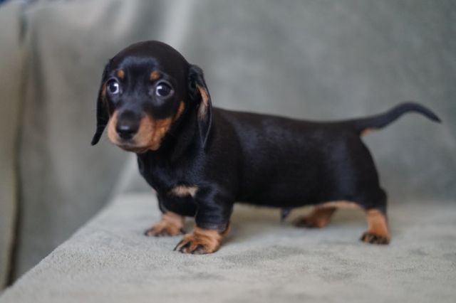 Chocolatetan Standard Dachshund Pups Akc Reg Male Marquette