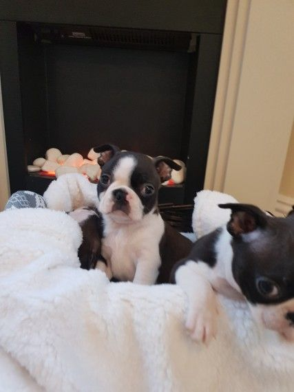 Boston Terrier Puppies Marquette Michigan Pets For Sale Classified