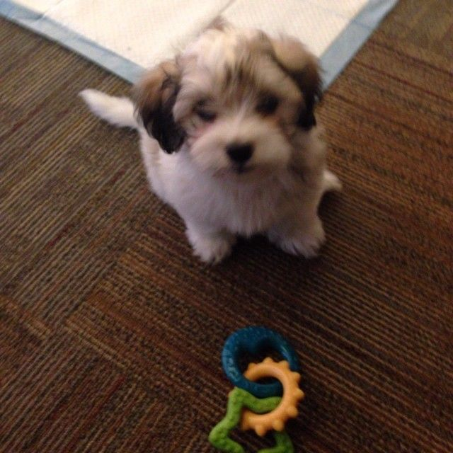 Stunning Havanese Puppy Nashville Tennessee Pets For Sale