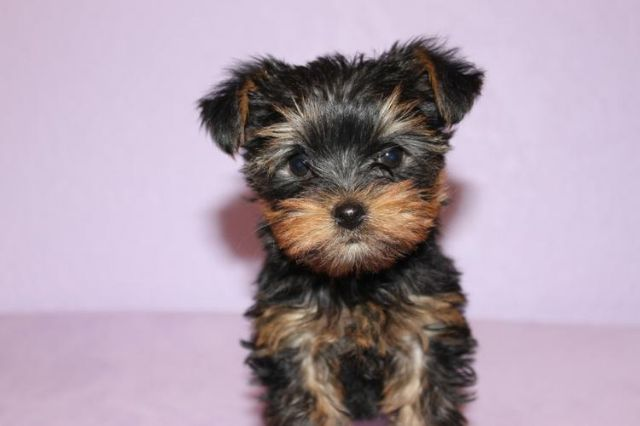 100 Cute And Adorableyorkie Puppies For Sale Nashville