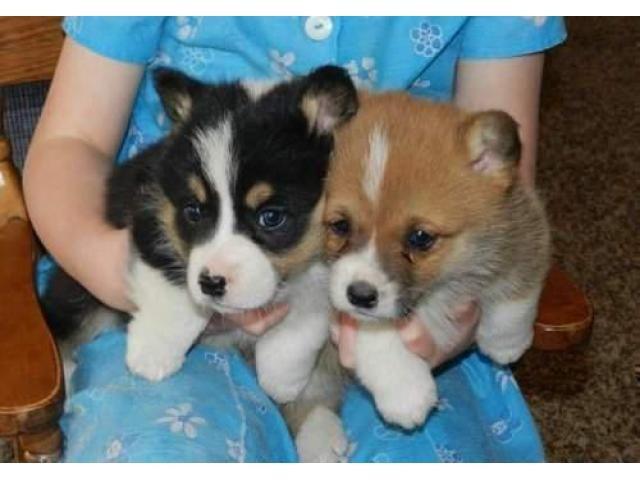 Welsh Corgi Pembroke Puppies For Sale Nashville Tennessee Pets For