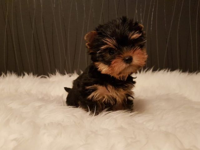 Tiny Baby Teacup Yorkie Puppies Nashville Tennessee Pets For Sale